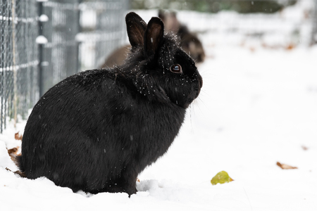 A black dwarf rabbit (lions head) sitting in the snow