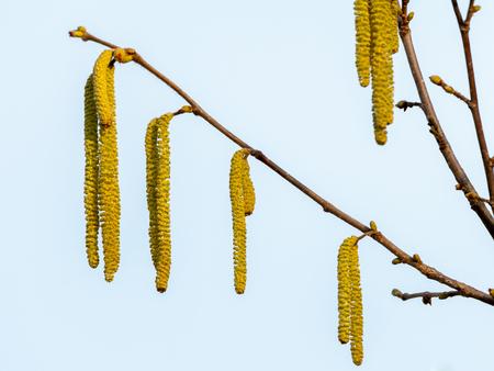 A blooming hazelnut shrub (Corylus avellana) in late winter Imagens