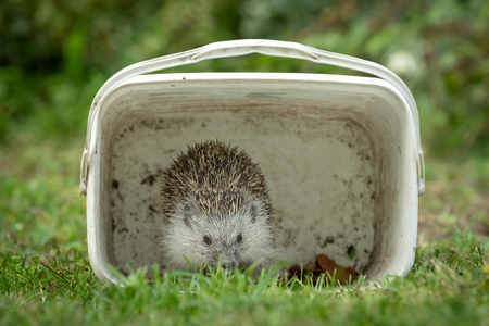 Portrait of a hedgehog hiding in a white box in a green meadow in autumn