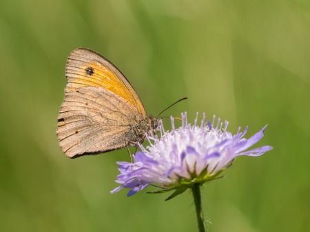 Closeup of a meadow brown butterfly (Maniola jurtina, Nymphalidae) sitting on a flower