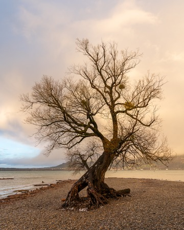 Old isolated willow on the shore of lake Constance (Bodensee Bregenz, Austria) after a heavy storm in early springside