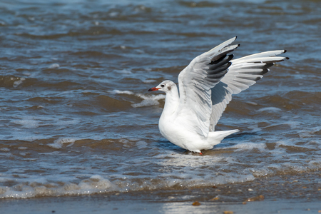 A black-headed gull walking through the water at the beach on a sunny day in summer (Brittany, France) Foto de archivo