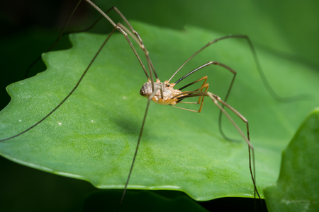 A harvester (harvestman, daddy longleg, Opiliones) sitting on a green leaf
