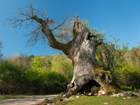 The old oak tree of Sveti Petar (island Cres, Croatia) on a sunny day in spring