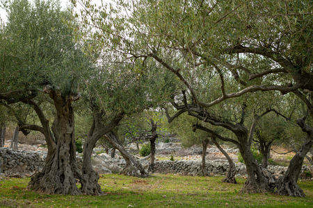 Olive grove and stone walls near the city of Cres, Croatia