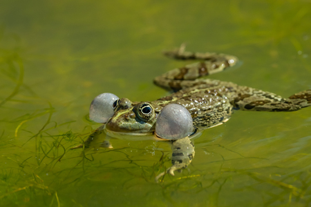 A water frog (Rana ridibunda) calling in a pond in Croatia