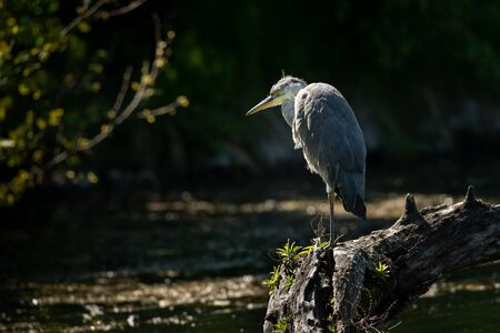 A grey heron (Ardea cinerea) standing near a pond (Vienna, Austria) Stock Photo