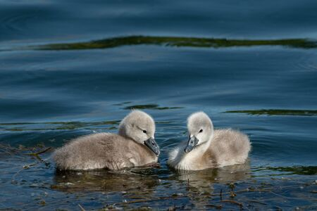Mute swan cygnets (Cygnus olor) swimming on a sunny day in spring (Vienna, Austria) Фото со стока