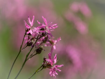 Beautiful Ragged Robins (Lychnis flos-cuculi, Caryophyllaceae) on a sunny day in early summer
