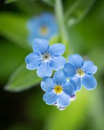 Closeup of the blossoms of a forget me not flower (Myosotis, Boraginaceae) Imagens