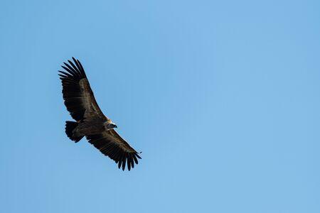 One griffon vulture (Gyps fulvus) flying in blue sky