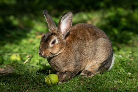 A brown cute dwarf rabbit sitting in the grass and eating a small apple