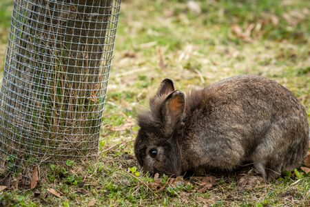 A young brown dwarf rabbit (lions head) sitting in the grass