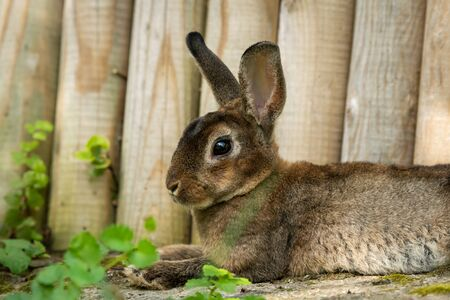 A brown cute dwarf rabbit resting in the grass near a wooden fence