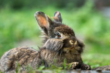A brown cute dwarf rabbit (lions head) resting in the grass