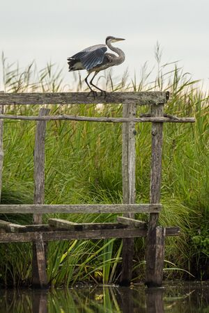 A grey heron (Ardea cinerea) standing on a wooden stand in Briere Regional Natural Park