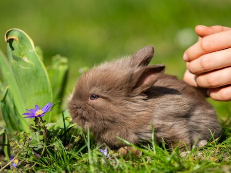 Child releasing a very young, cute brown rabbit in a meadow Фото со стока