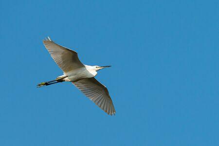 A little egret (Egretta garzetta) in flight, blue sky