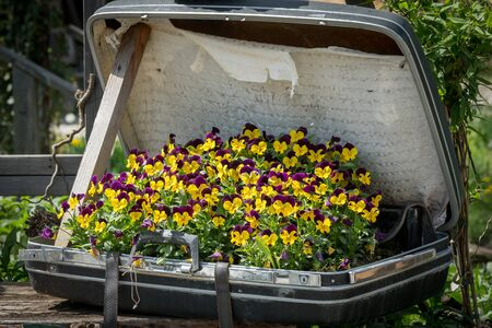 A group of violets (Viola arvensis, Violaceae) planted in an old suitcase Stock Photo