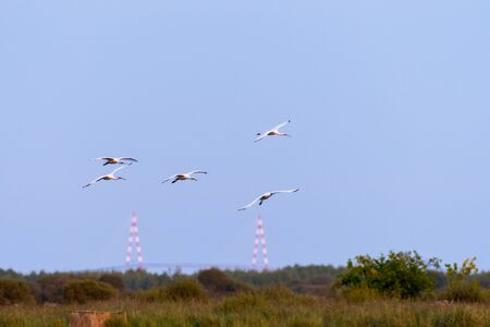 Five spoonbills (Platalea leucorodia) flying after sunset in Briere Nature Park (France)