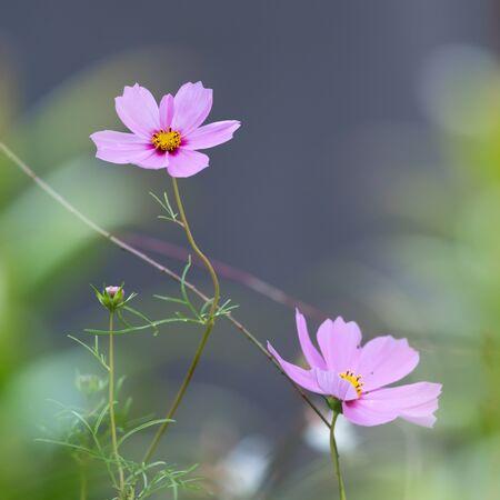 Closeup of the flowers of a garden cosmos (Cosmea bipinnata) Stok Fotoğraf