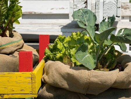 Various vegetables planted in sacks on a sunny day in summer, chard (Beta vulgaris ssp.vulgaris), lettuce (Lactuca sativa)