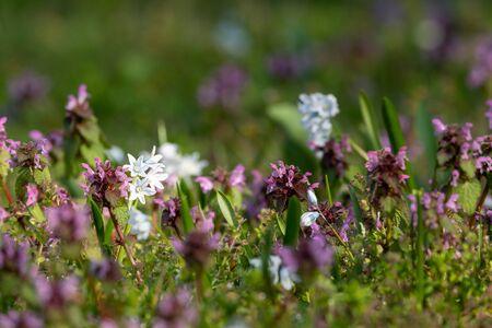 Closeup of various spring flowers (Lamium purpureum and Chionodoxa luciliae) in a garden