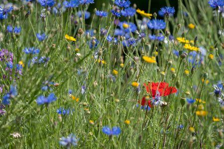Various flowers in a meadow on a sunny day in summer, cornflowers (Centaurea cyanus), poppy (Papaver)