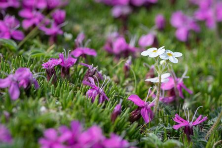 Closeup of various alpine flowers (Androsace chamaejasme and Silene acaulis) in summer in the Austrian Alps 版權商用圖片