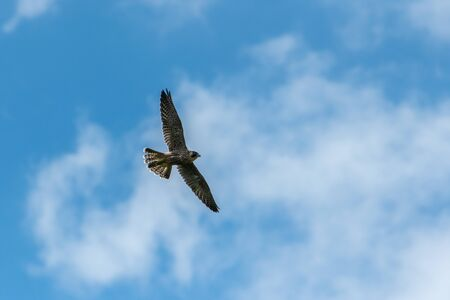 An immature peregrine falcon (Falco peregrinus) in flight on a sunny day in summer