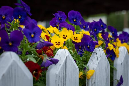 Closeup of garden pansies (Viola wittrockiana) in a flower pot