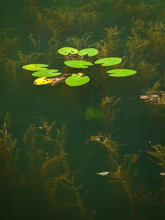 Water plants growing in a small pond, yellow water-lily (Nuphar lutea), Myriophyllum Stok Fotoğraf