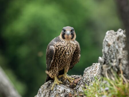 An immature peregrine falcon (Falco peregrinus) sitting on a rock