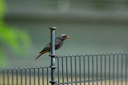 A male Black redstart (Phoenicurus ochruros) resting on a fence with a beetle in its bill Фото со стока