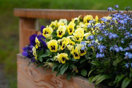 Closeup of garden pansies (Viola wittrockiana) and forget me nots (Myosotis) in a flower pot 版權商用圖片