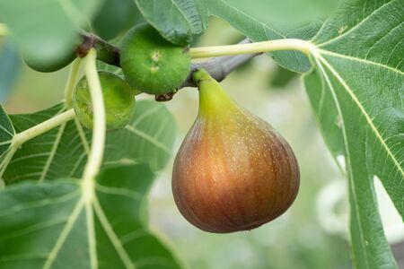 Closeup of a ripe fruit of a common fig hanging on a tree Фото со стока - 130135999