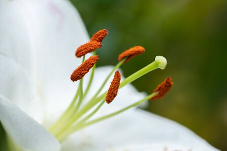 Closeup of a blossom of a big white tiger lily in summer