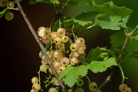 Closeup of ripe fruits of white currant hanging on a shrub Reklamní fotografie