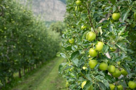 Green apples in an apple plantation in South Tyrol (Laas, Italy)