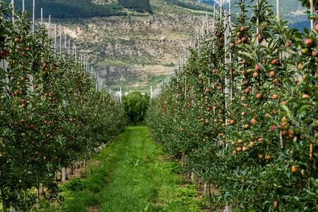 Red apples in an apple plantation in South Tyrol (Laas, Italy) Stockfoto