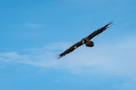 A juvenile bearded vulture (Gypaetus barbatus) in flight, blue sky, alps in South Tyrol, Stilfser Joch