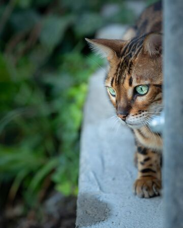 A cute little Bengal cat gazing intently (South Tyrol, Italy) Zdjęcie Seryjne