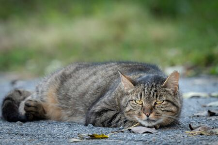 A tired tabby cat lying on the ground