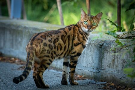 A cute Bengal cat on the street (South Tyrol, Italy)
