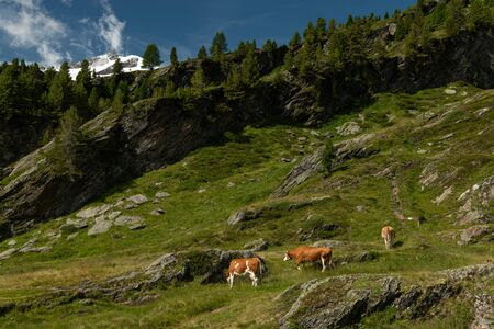 Cattle grazing near Zufallshuette in Martell valley (South Tyrol, Italy) on a sunny day in summer
