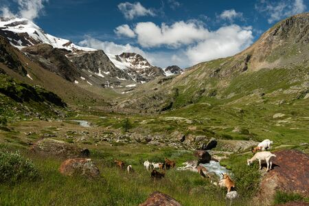 Goats in Martell valley in South Tyrol (Italy) on a sunny day in summer, Monte Cevedale