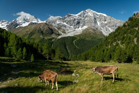 The Ortler Alps near Sulden (South Tyrol, Italy) on a sunny day in summer, cattle