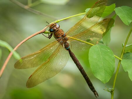 A brown hawker dragonfly (Aeshna grandis) resting on a bush in South Tyrol (Italy) Stock fotó