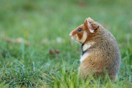 Un hamster européen dans un pré à la recherche de nourriture, cimetière de Meidling (Vienne, Autriche)
