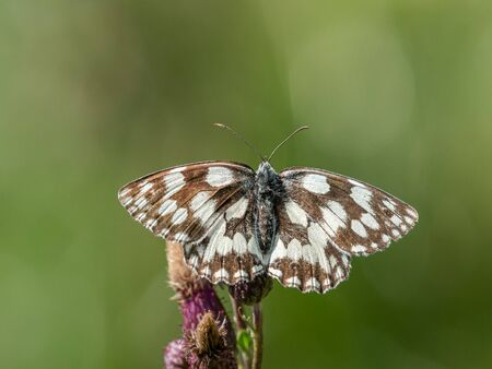 A marbled white butterfly (Melanargia galathea) sitting on a flower on a sunny day in summer (South Tyrol, Italy)